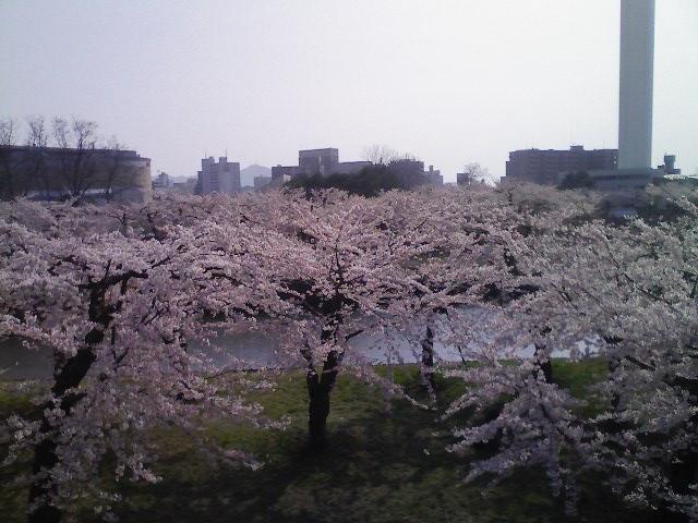 五稜郭公園と桜